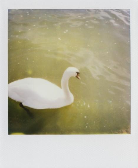Swan polaroid